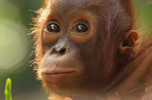 Endangered orangutans may be imperilled by a new coal development. Credit: iStockphoto